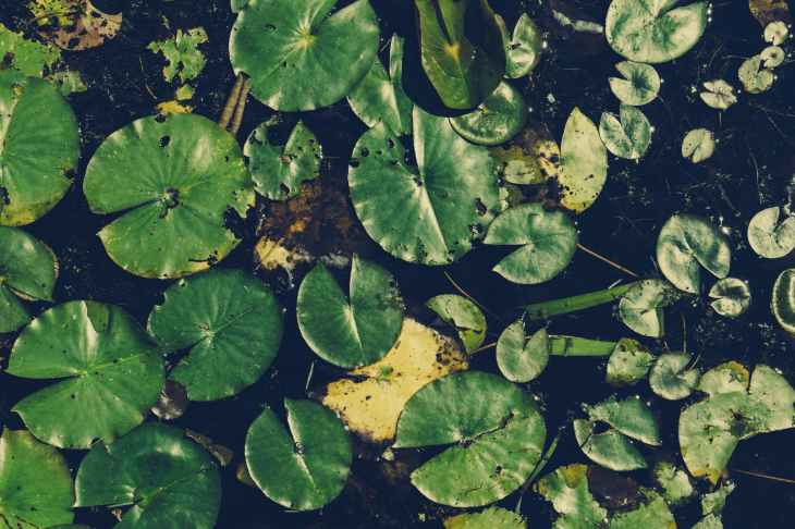 aquatic plants floating leaves plant